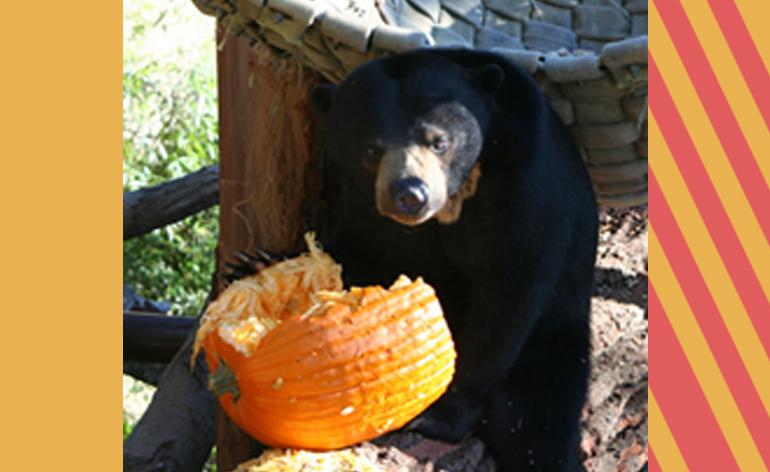 Bear with Pumpkin